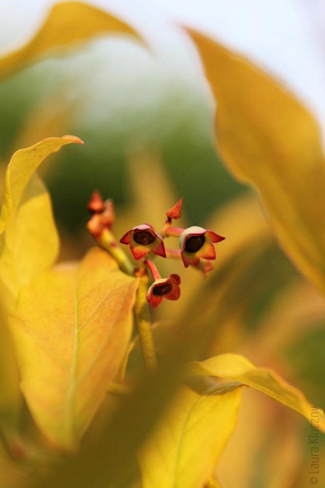 Verblühte Heidelbeeren in voller Farbenpracht