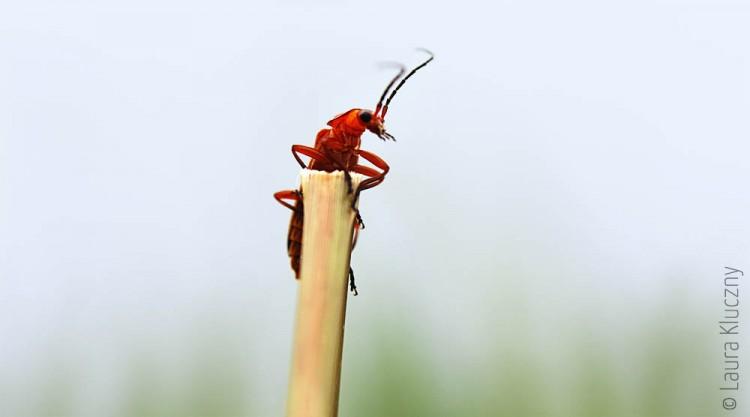Roter Käfer hält Ausschau