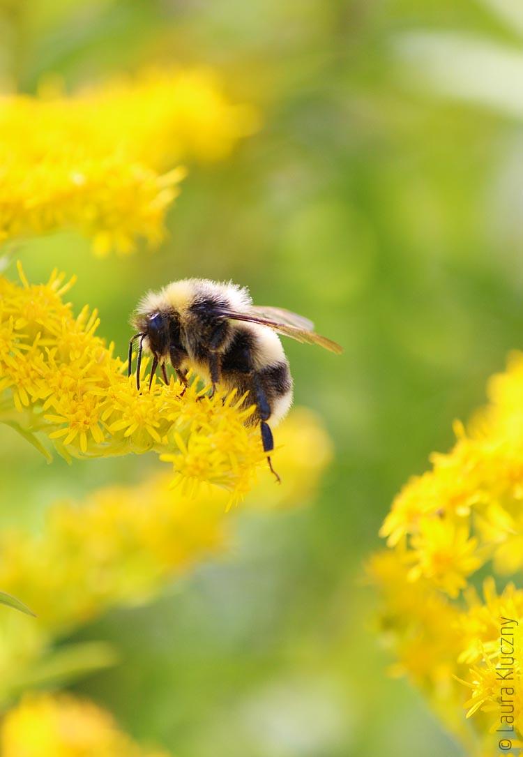 Hummel zwischen gelbem Blütenstaub_02