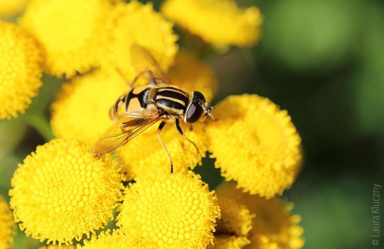 Schwebfliege auf gelben Blüten_02