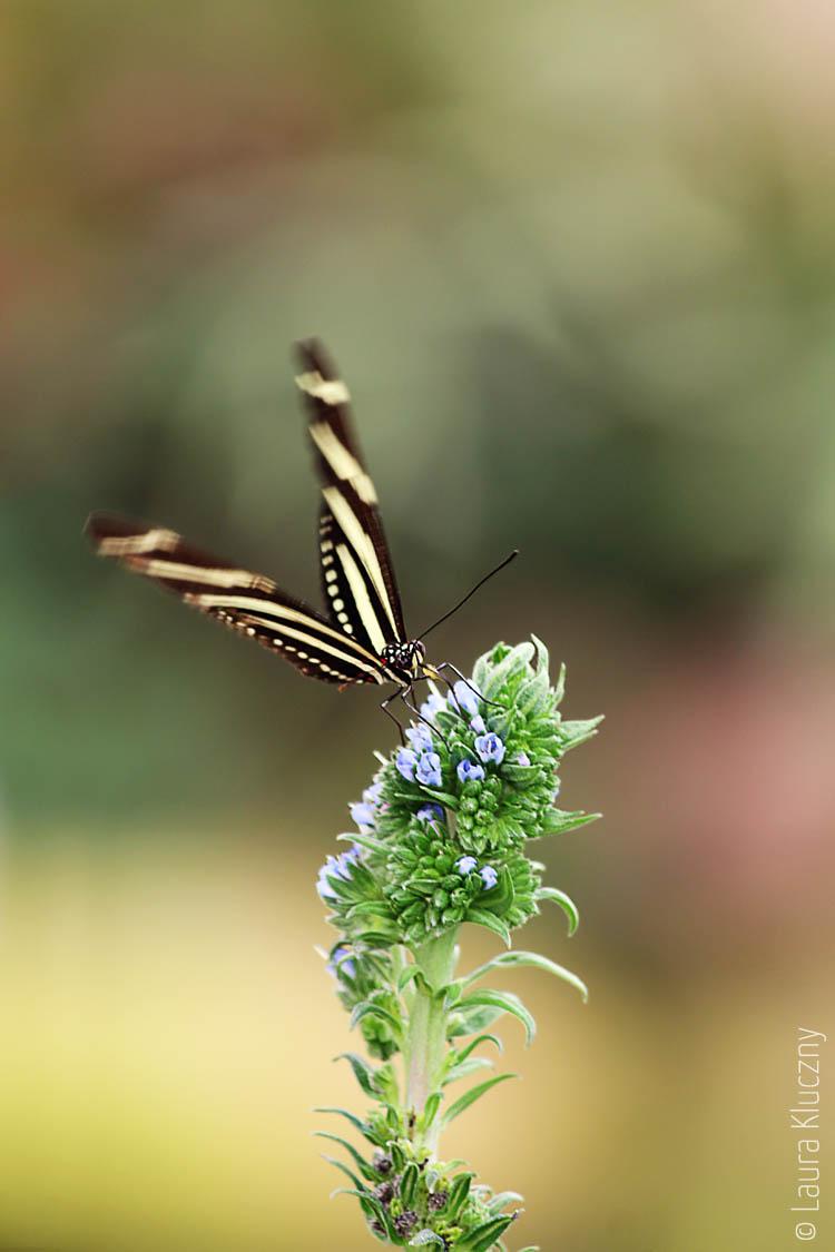 Heliconius charitonius auch als Zebra Longwing oder Héliconius-zébra, aus Südamerika