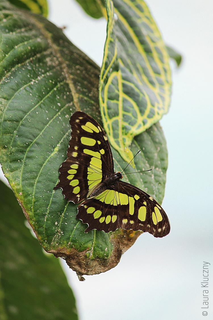 Siproeta stelenes auch als Malachit oder Bambuspage, lebt in Mittel- und Südamerika