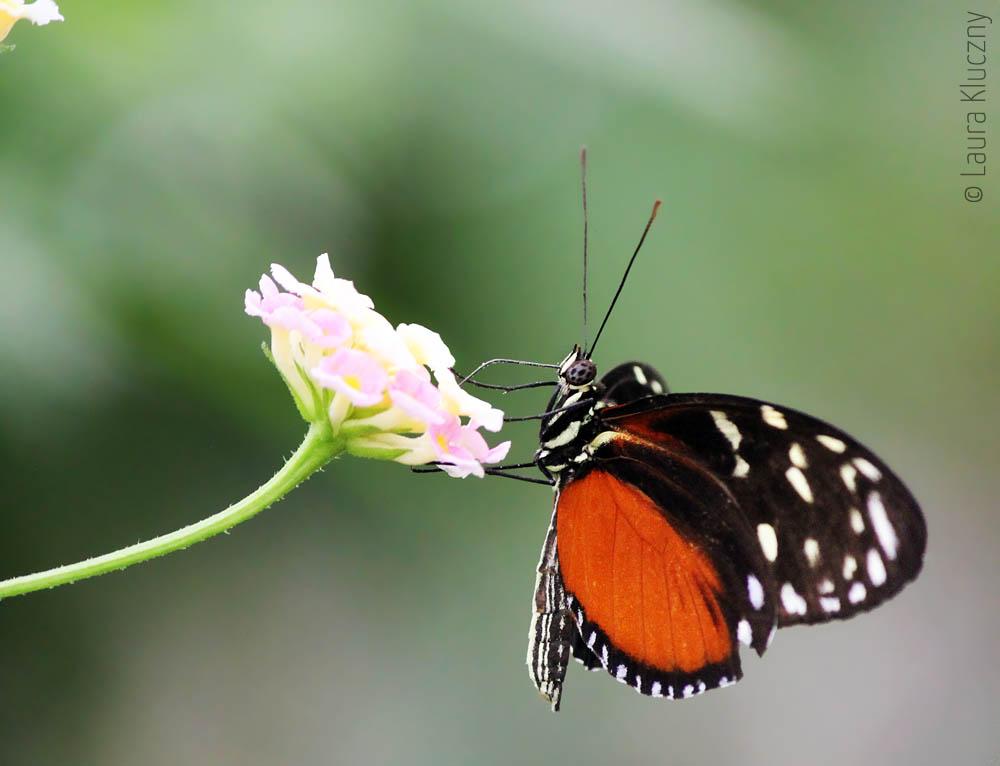 Heliconius ismenius oder Tiger-Passionsfalter, zu finden in Mexiko bis Ecuador