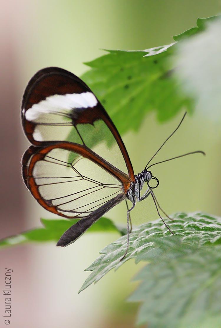 Greta morgane, verbreitet in Mittelamerika bis in den Süden Texas