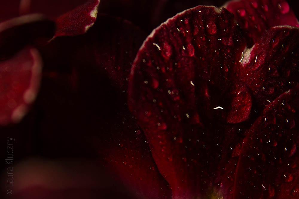 Rot wie Blut – Makro von einer Primel