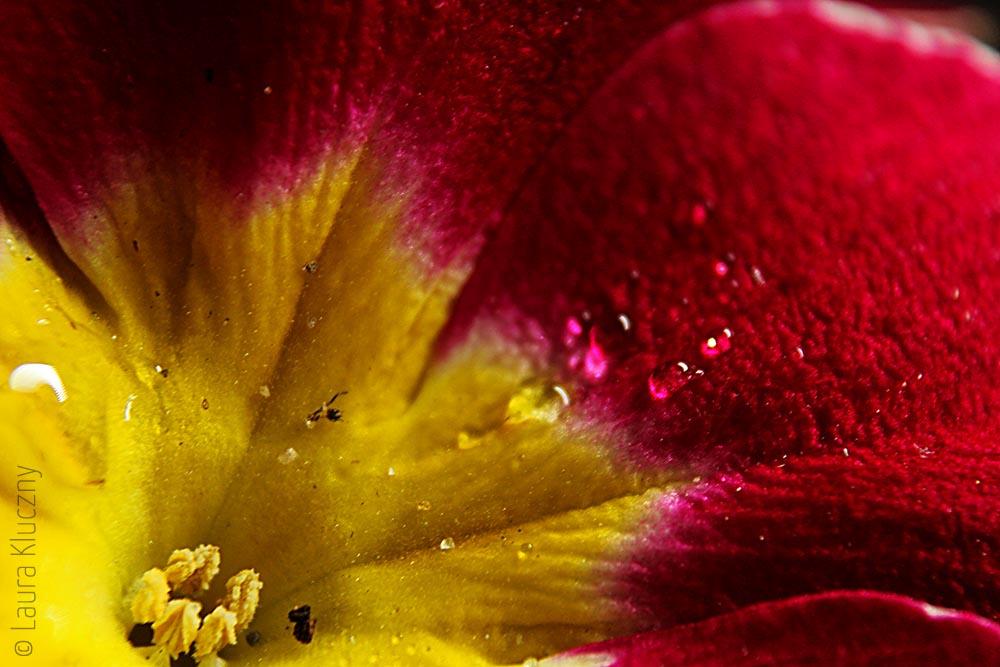 Makro von eine rot-gelber Primel