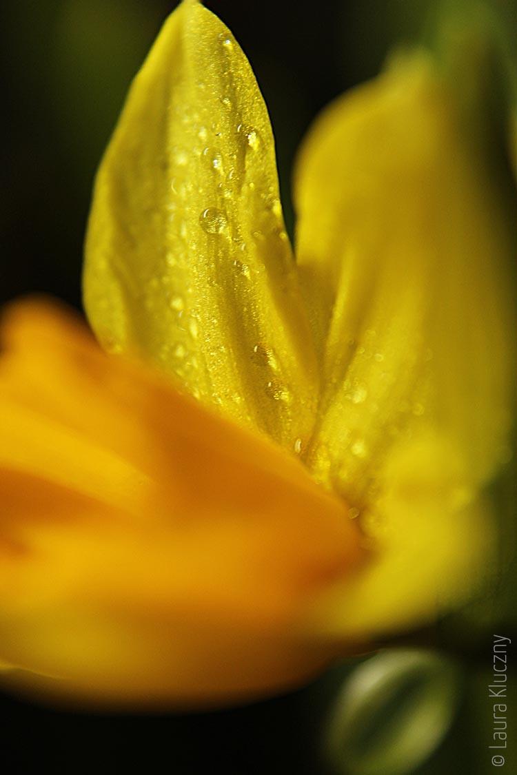Makro von einer gelben Narzisse