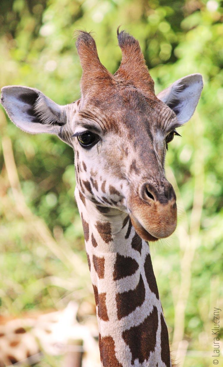 Giraffe, welche mit ihrem Kopf im Bus war, um sich Möhrchen abzuholen