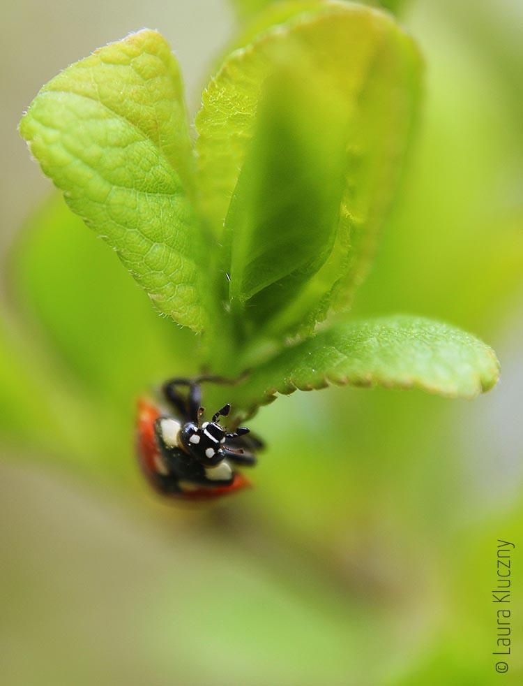 Marienkäfer (Coccinellidae)  im Grünen