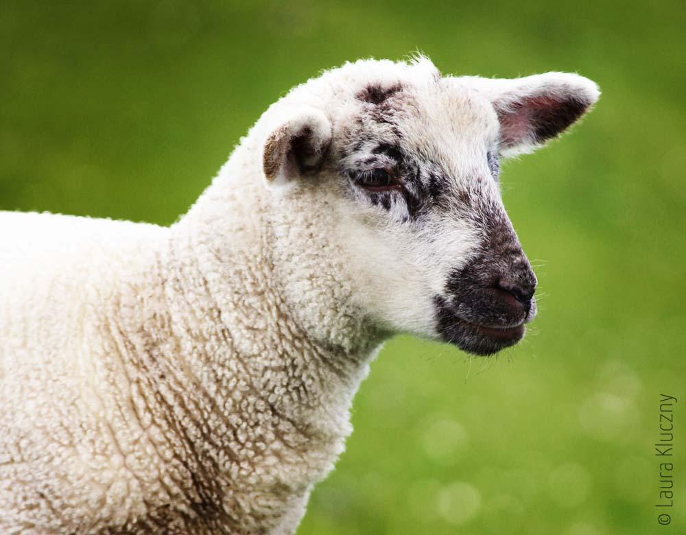 Kleines Schaf auf dem Deich