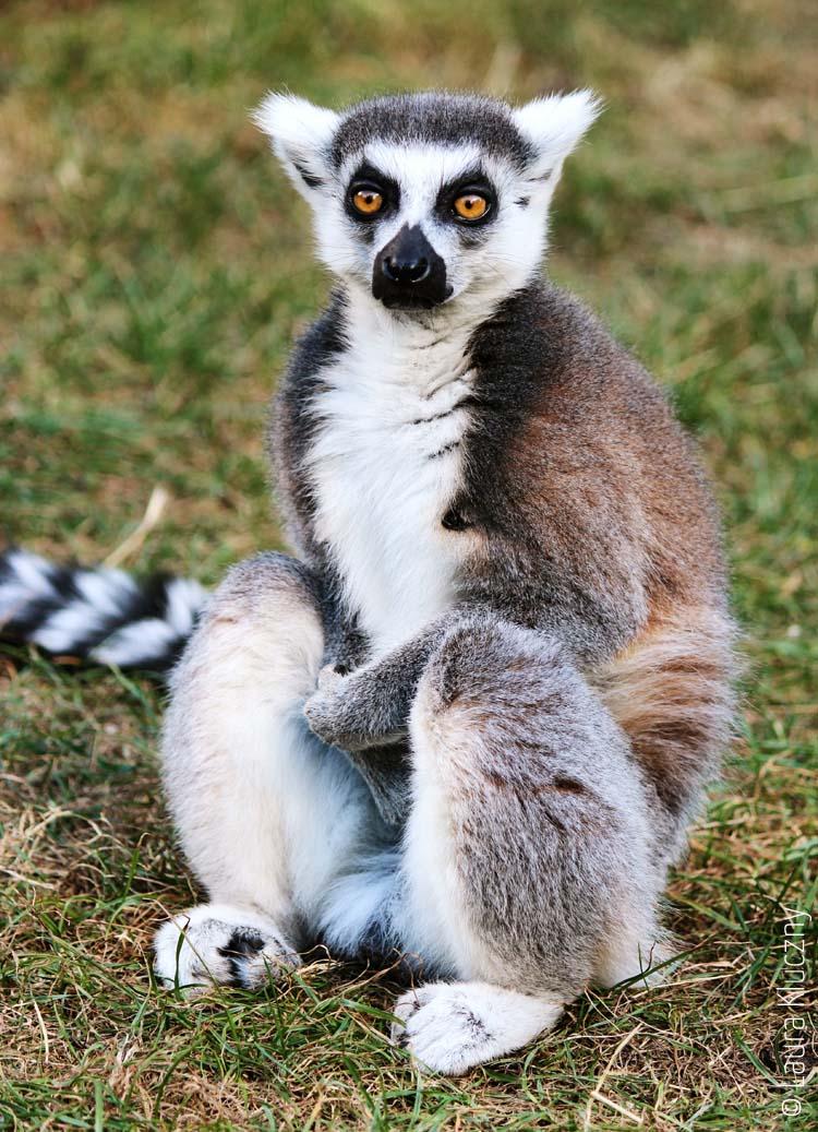 Katta, welche zu den Lemuren gehören