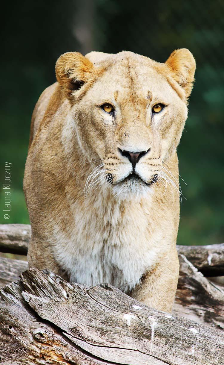 Löwe, beheimatet in Afrika und im indischen Bundesstaat Gujarat