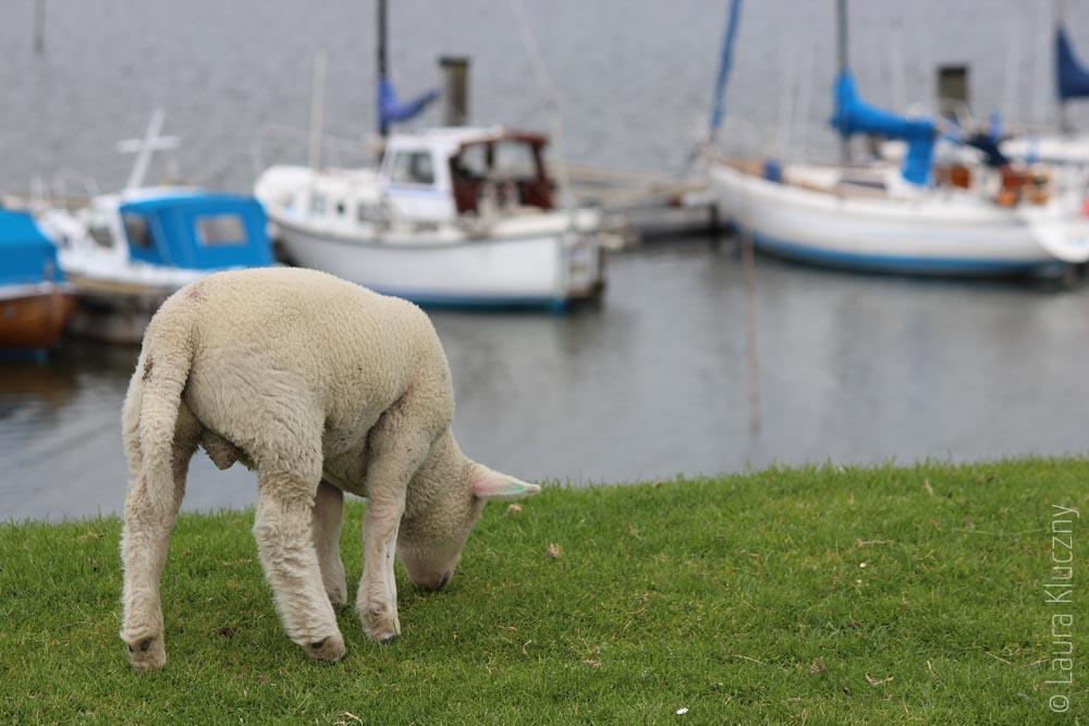 Vorher: Lamm vor Hafenkulisse an der Nordsee