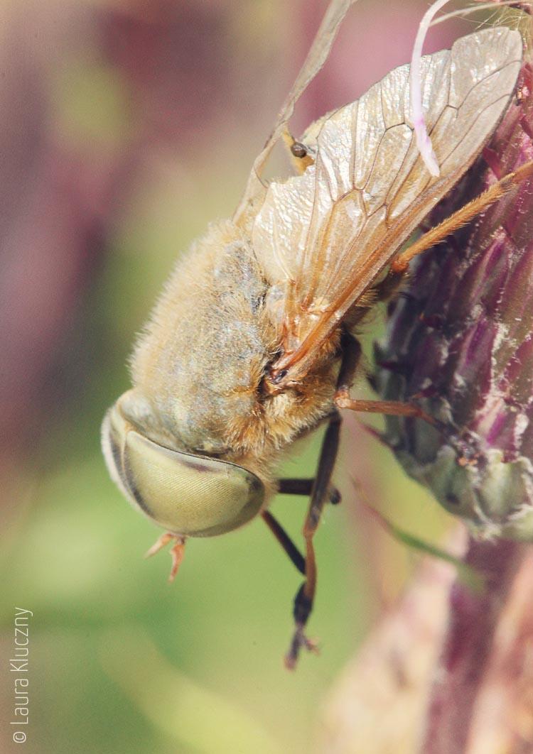 Ein Traum in Pastell: Ein Insekt an einer Distelblüte