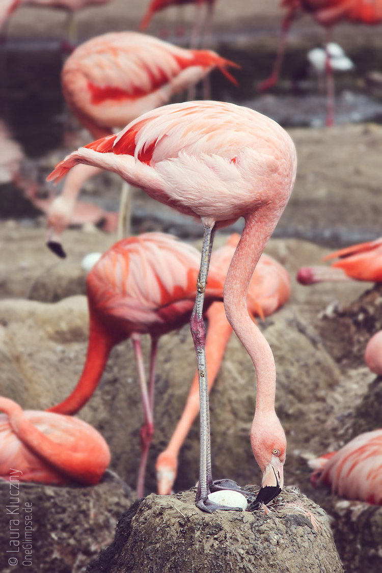 Flamingo, Tierpark Hagenbeck