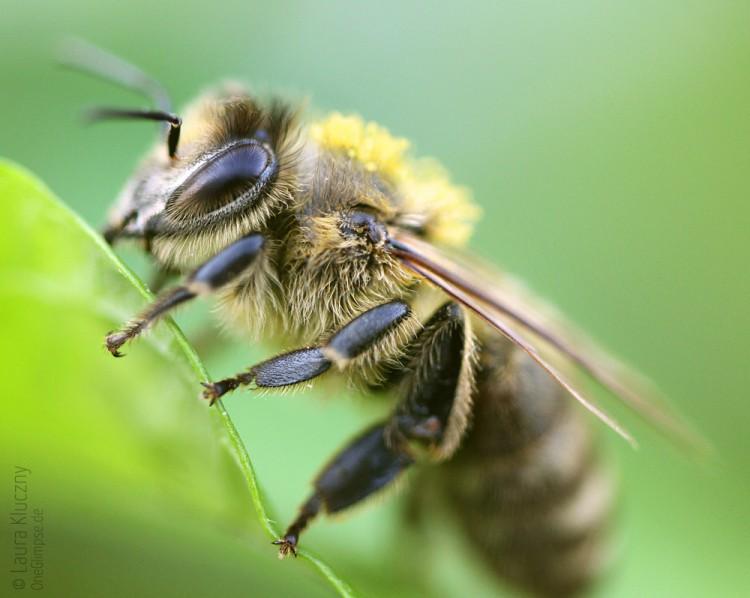 Makroaufnahme einer Biene