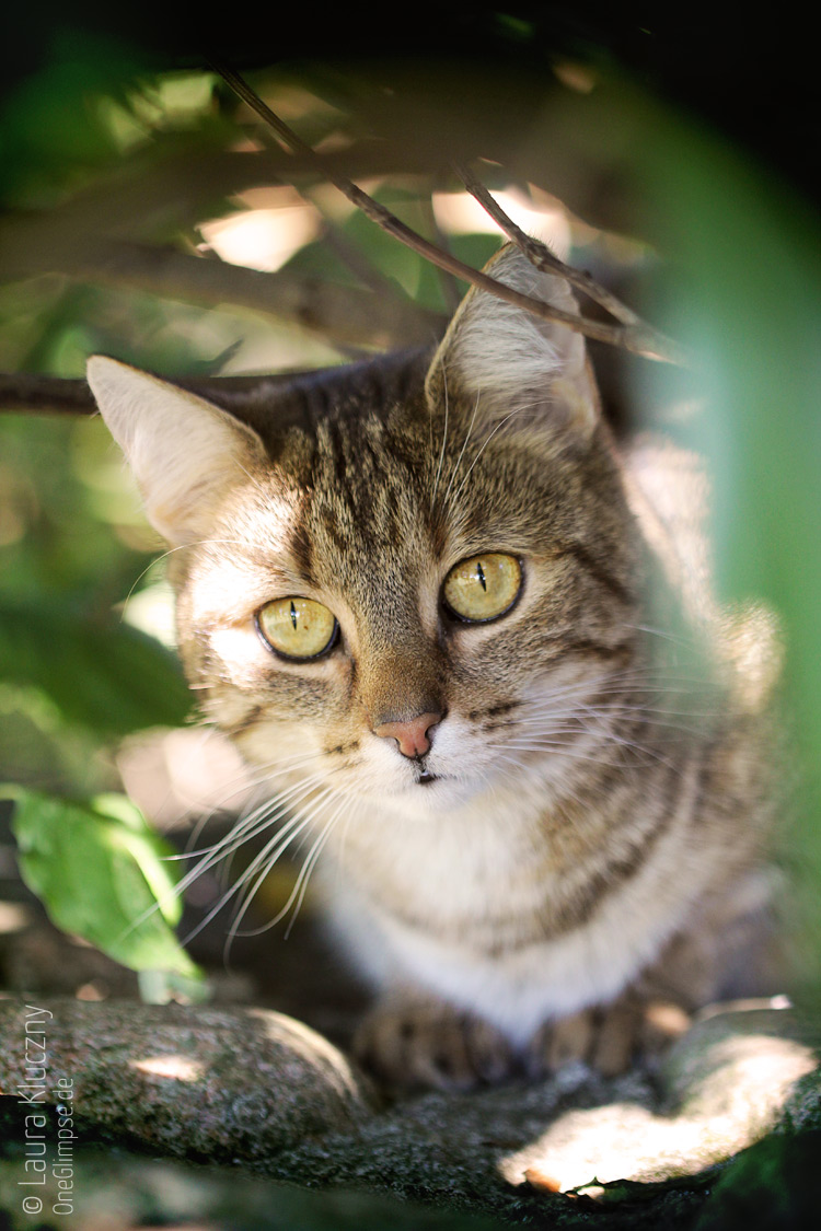 Portrait einer getigerten Katze