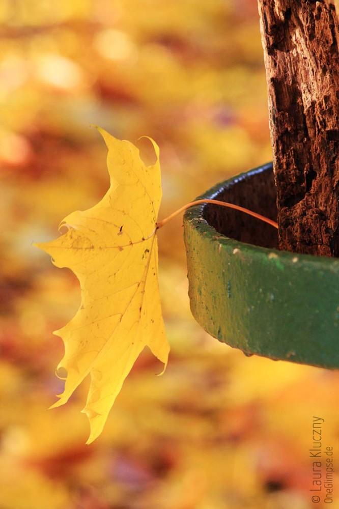 Wunderschönes Goldgelb: Ein Laubblatt an einem grünen Zaun