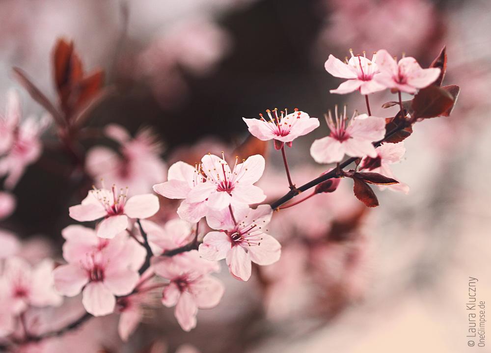 Japanische Kirschblüte oder Blütenkirsche, Sakura