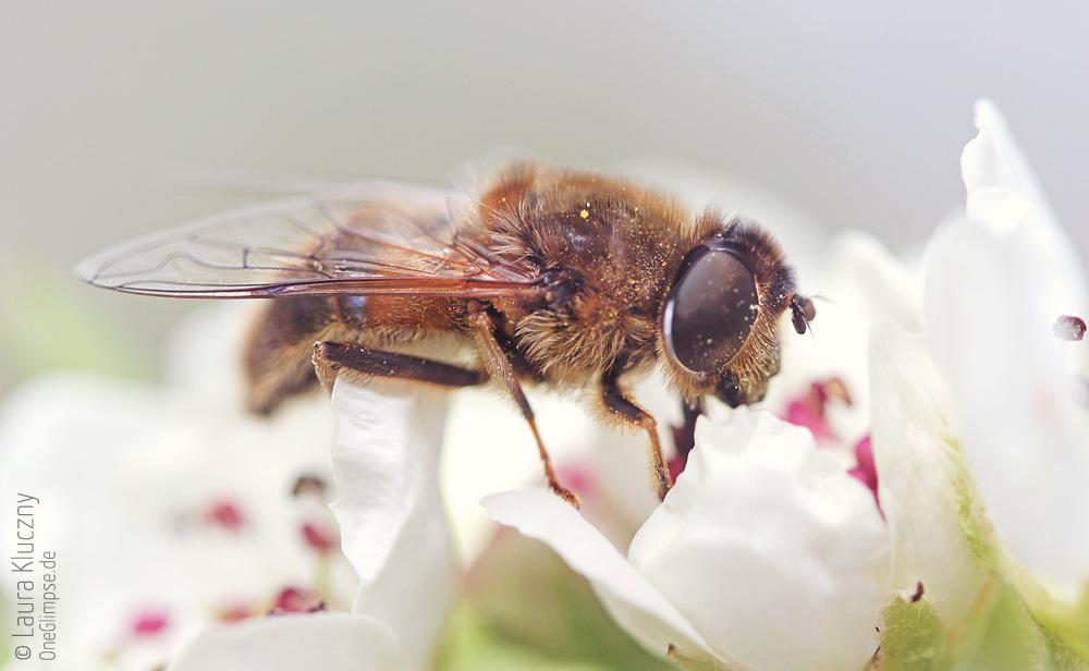 Honigbiene, Wildpark Schwarze Berge