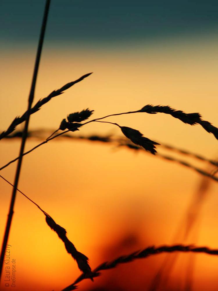 Gras-Silhouette im Abendlicht