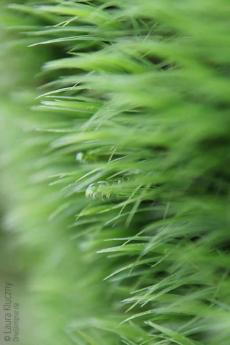 Grünes Gras bzw. Moos, Makroaufnahme