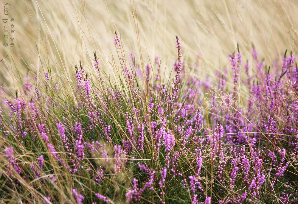 Lila Heidekraut, beige Gräser