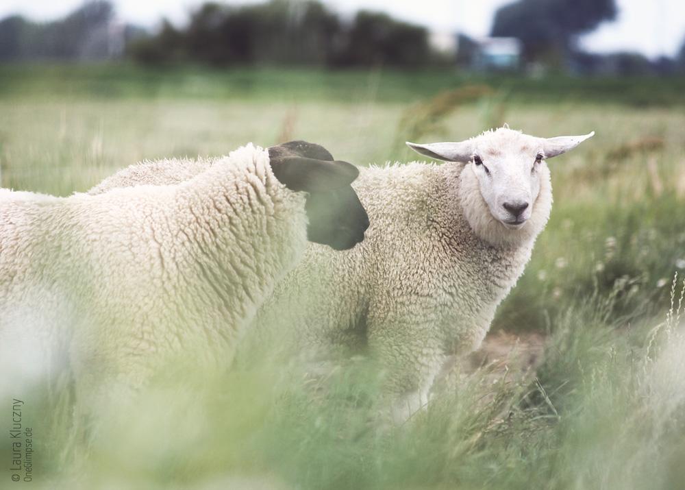 Schafe in Büsum, Nordsee