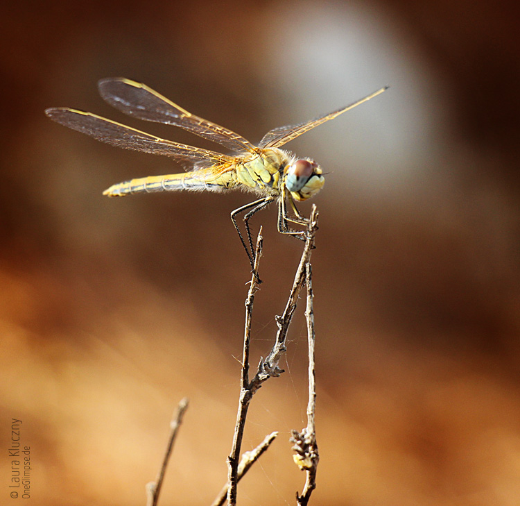 Mallorca, Sant Elm: Libelle im Kiefernwald