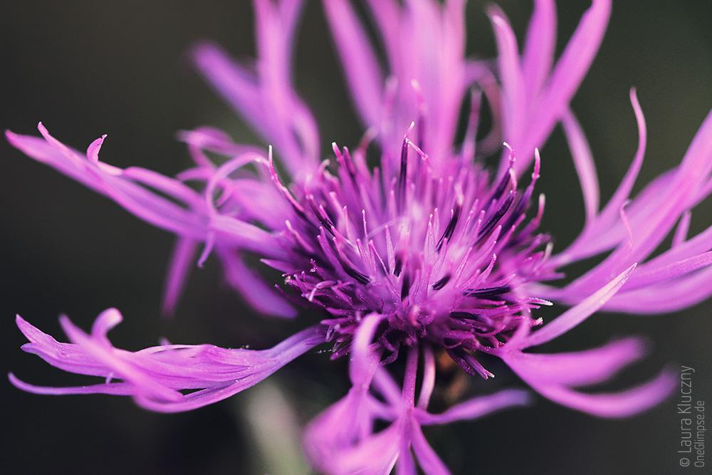 Violette Berg-Flockenblume, Makroaufnahme