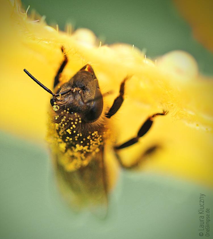 Tröpfchen-behangene Honigbiene unter einem Blatt einer Zucchinipflanze, Makro