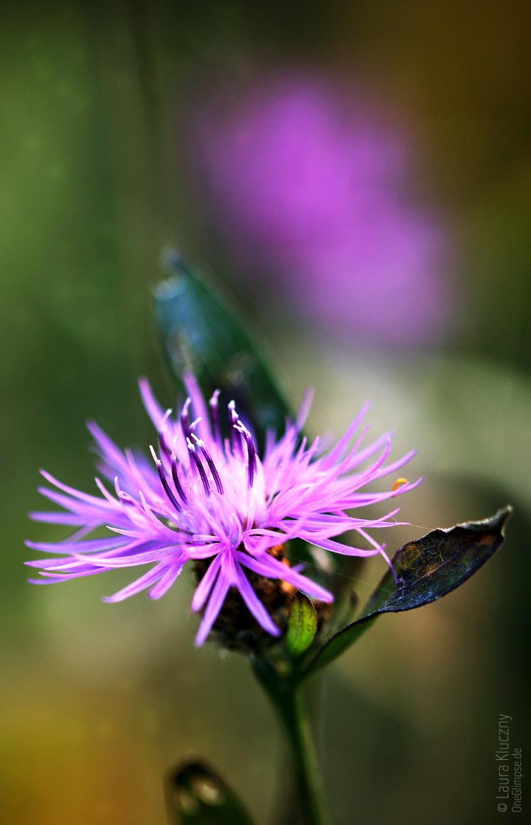 Buntes Farbenspiel und als violetter Hauptdarsteller die Berg-Flockenblume