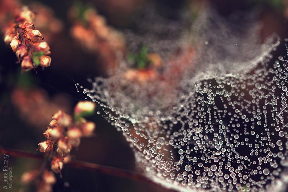 Spinnennetz umhüllt von Tautropfen gelegen zwischen Heidepflänzchen, Makroaufnahme