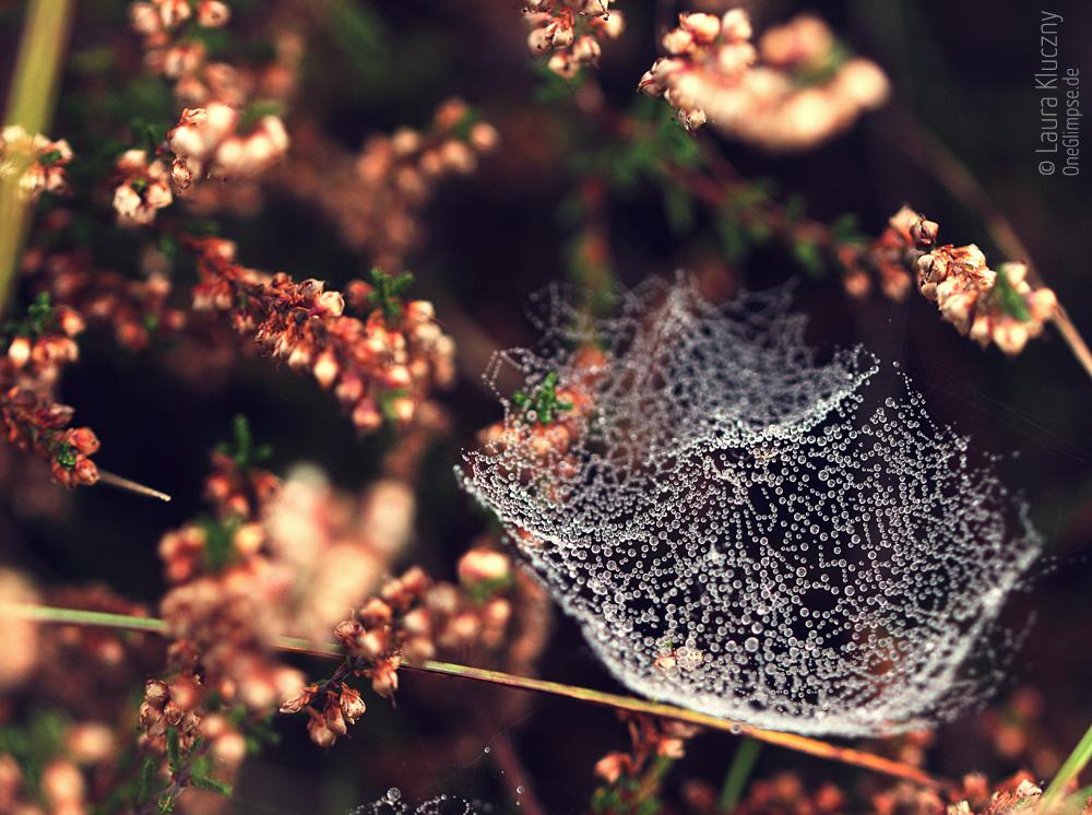 Zauberhafter Herbst: Spinnennetz umhüllt von Tautropfen gelegen zwischen Heidepflänzchen