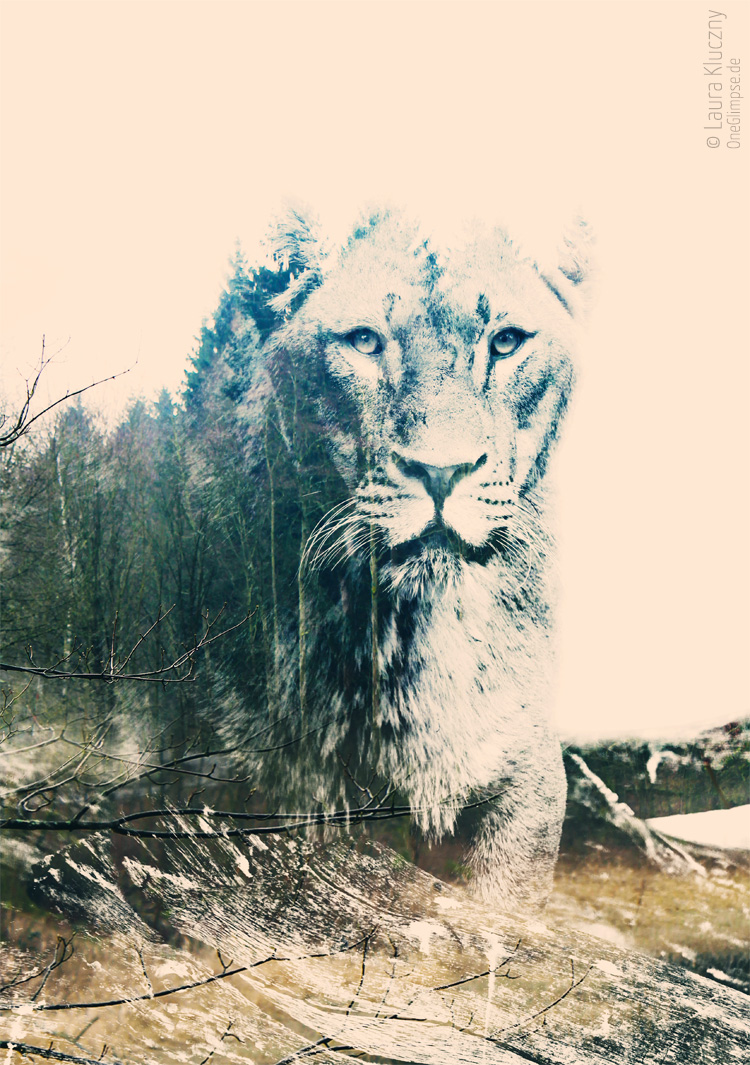 """""""Stärke und Ruhe: Löwe""""  Doppelbelichtung mit Photoshop: Löwin kombiniert mit Tannen und Gräsern"""