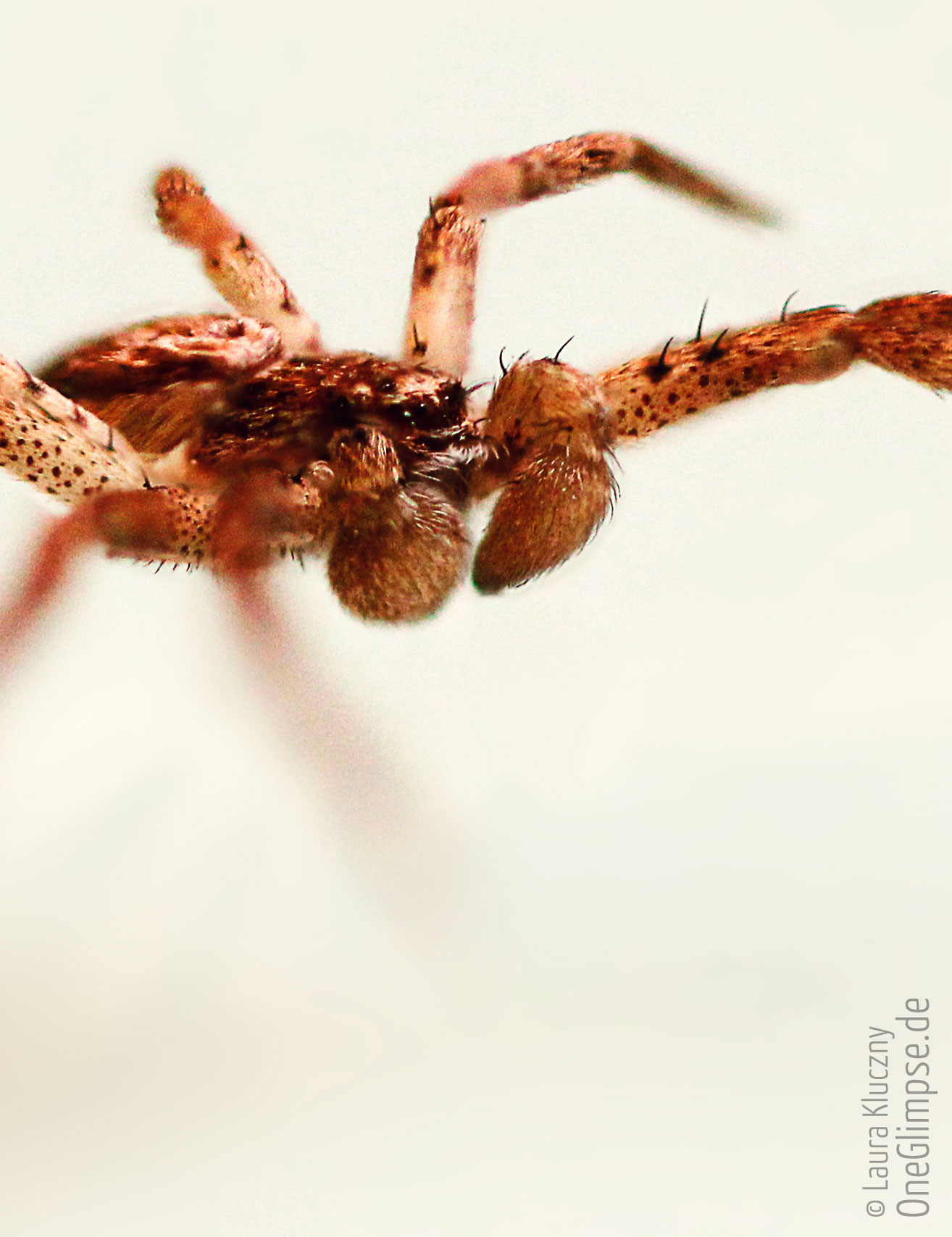 Focus Stacking: Spinne. Fertiges Bild, Zusammensetzung aus vielen Einzelbildern