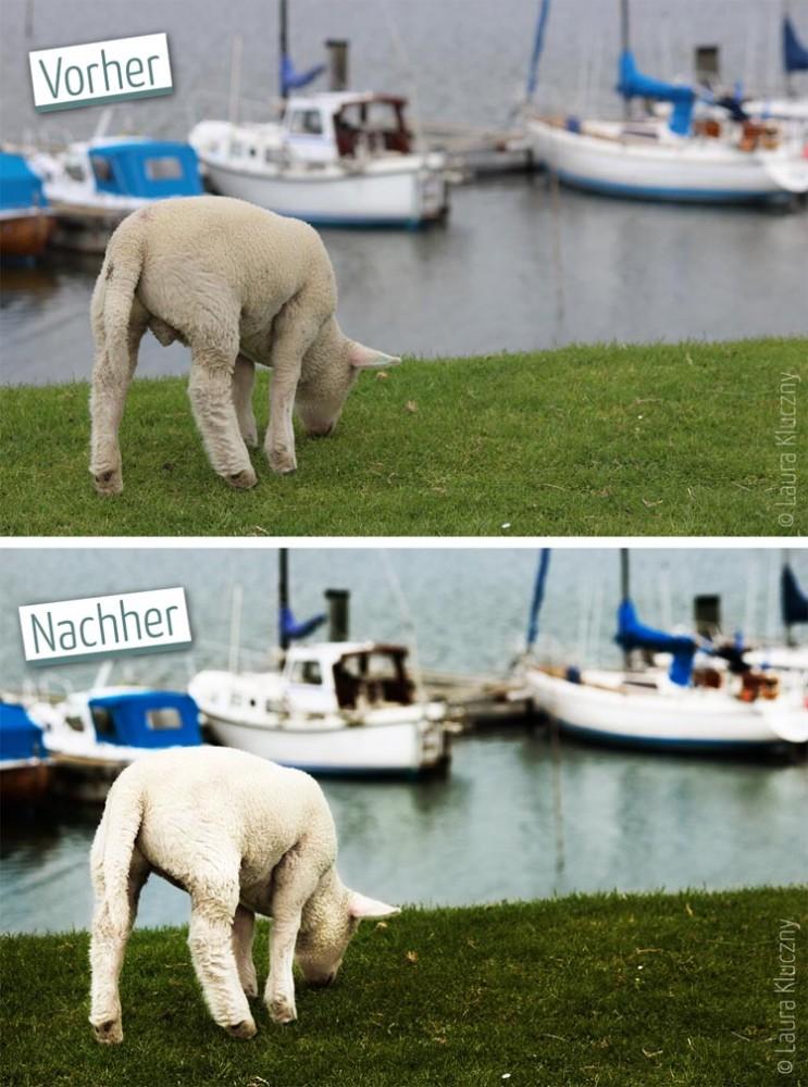 Vorher-Nachher-Wow: Schäfchen auf dem Deich vor Hafenkulisse