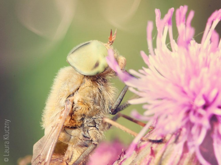 Ein Traum in Pastel: Ein Insekt an einer Distelblüte