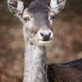 Portrait von einem Reh, Wildpark Schwarze Berge
